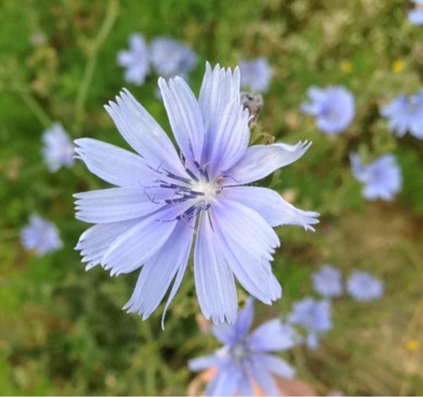 Cichorium intybus L. [1753][Dét. : Pierre Bonnet]
