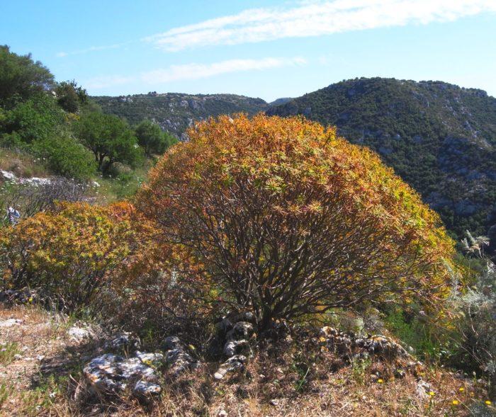 ITALIE SICILE Automne Euphorbia dendroides R0095170
