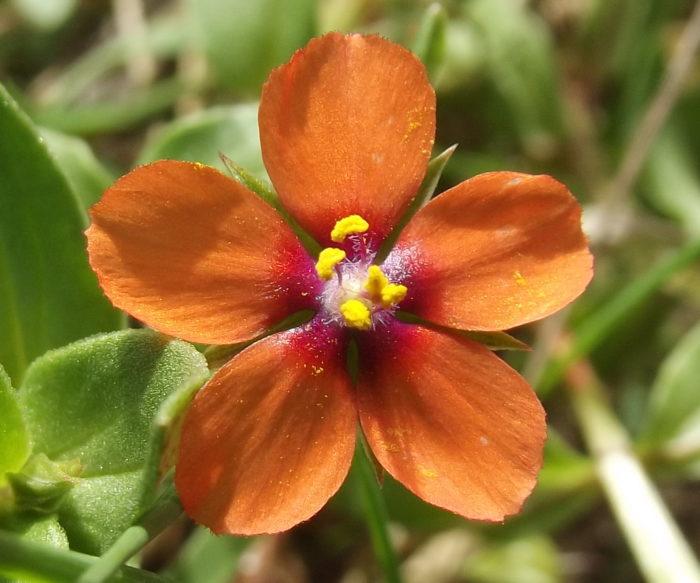 Lysimachia arvensis (L.) U.Manns & Anderb echardour