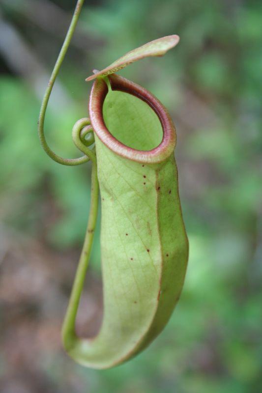 Nepenthes mirabilis