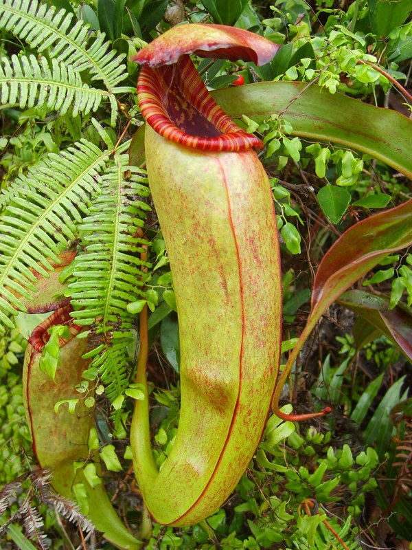 Nepenthes_bokorensis_upper