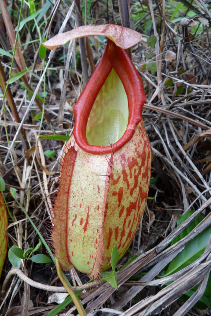 Nepenthes_holdenii_lower_pitcher