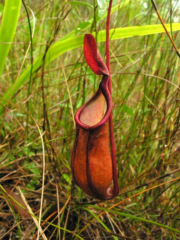 Nepenthes_kampotiana2