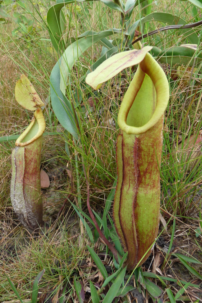 Nepenthes_smilesii_pitchers