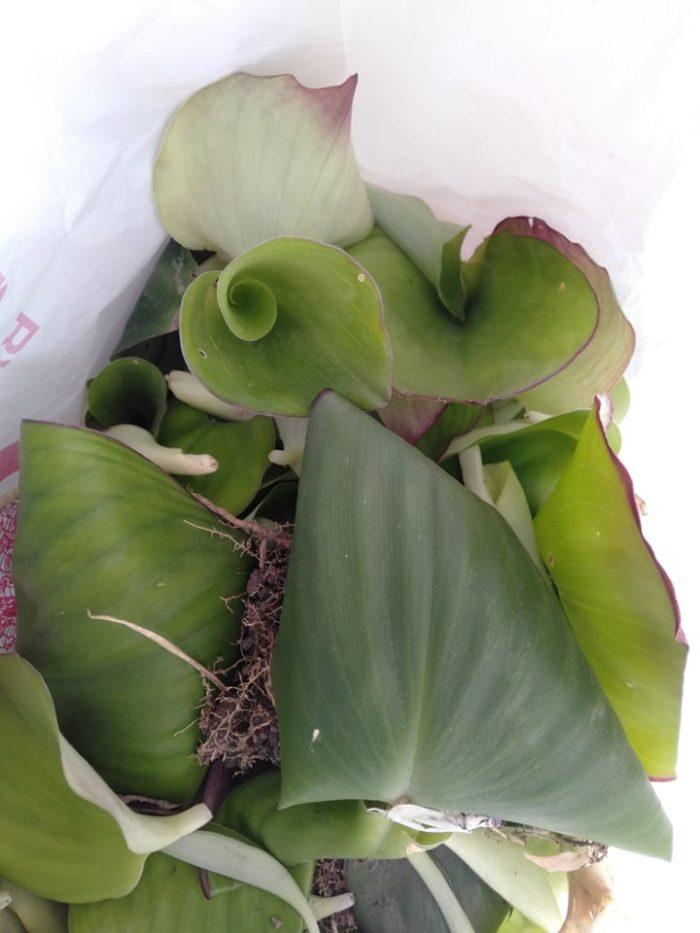 kaempferia harmandiana_feuilles