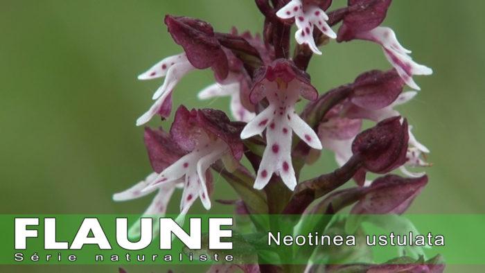 S3E02---Neotinea ustulata