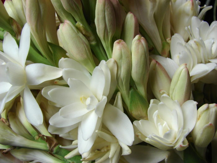 Polianthes_tuberosa the pearl